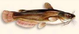 Hornpout fish