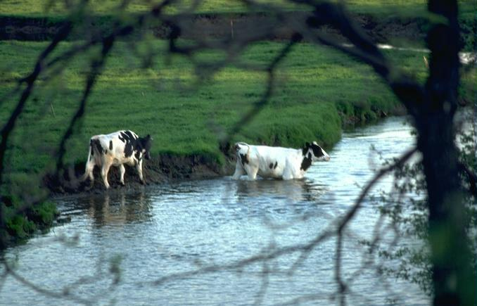 cows by the river