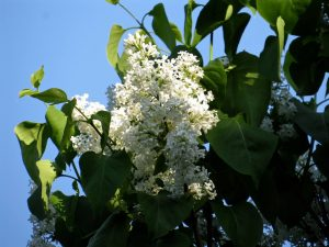 An example of white lilacs in New Hampshire. Photograph copyright Virginia Penrod. Used here with her permission.
