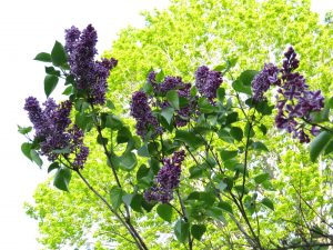 A darker variety of purple lilac of New Hampshire. Photograph copyright Virginia Penrod. Used with her permission.