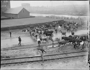 Photograph: Cows on the train tracks, c1917-1934; Leslie Jones photographer; Copyright Leslie Jones Collection, Coutesy of the Boston Public Library Collection