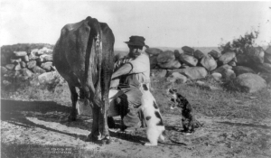 Photograph: Producer to Consumer, man milking a cow in Milford NH; c1909 J.P. Proctor. Library of Congress Prints and Photographs Division