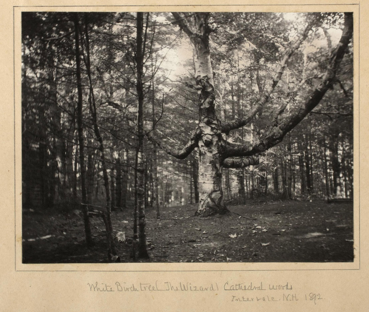 "Photograph of ""White Birch Tree (The Wizard)  in 1898 by N. Paine - from the American Antiquarian Society"