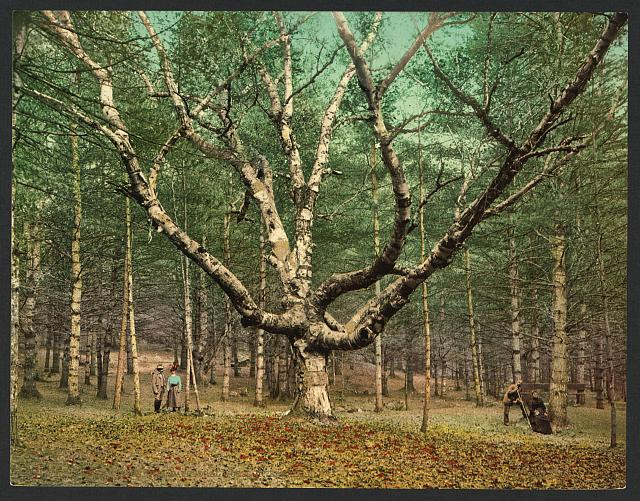 Cathedral woods, Intervale, White mountains; Detroit Publishing Company, 6 December 1900; from Library of Congress http://www.loc.gov/pictures/item/2008679604/